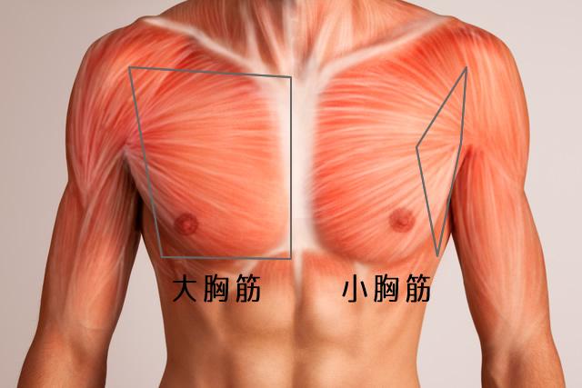 バストと大胸筋と小胸筋の位置関係図
