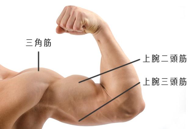 上腕二頭筋と上腕三頭筋と三角筋の画像
