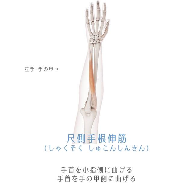 尺側手根伸筋(しゃくしょくしゅこんしんきん)